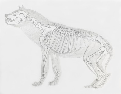 Hyaena skeleton