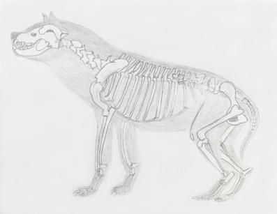Hyaena skeleton